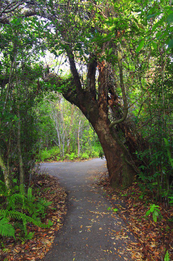 Gumbo Limbo (Bursera simaruba) trees surround Gumbo Limbo Trail, Everglades National Park, Florida : Stock Photo