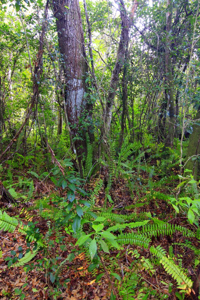 Ferns along Gumbo Limbo Trail, Everglades National Park, Florida : Stock Photo