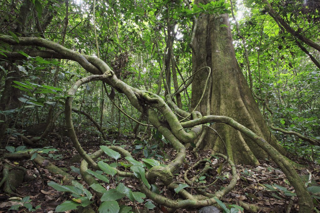 Tropical rainforest undergrowth, Lobeke National Park, Cameroon : Stock Photo