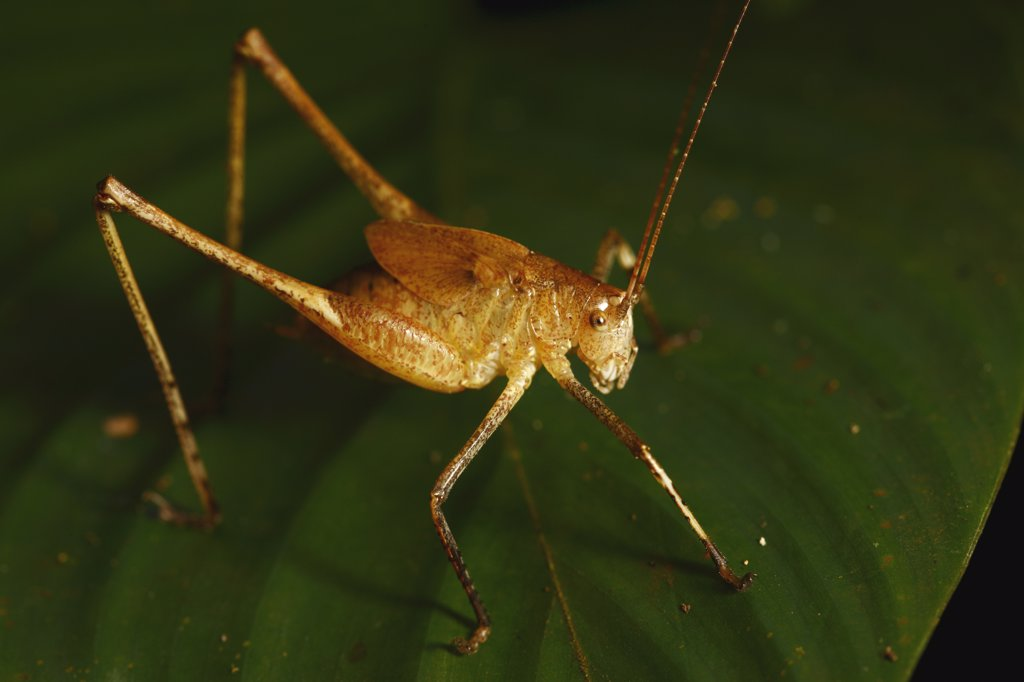 Stock Photo: 4201-49253 Grasshopper in tropical rainforest, Lobeke National Park, Cameroon