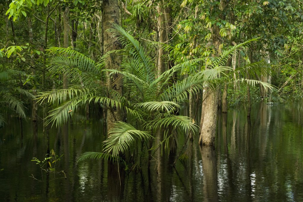 Stock Photo: 4201-49520 Flooded forest, habitat for the amazon river dolphin, Rio Negro, Amazonia, Brazil