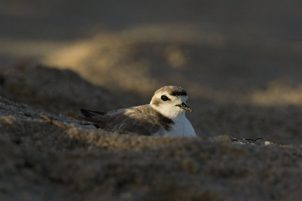 Stock Photo: 4201-49622 Western Snowy Plover (Charadrius alexandrinus nivosus) female incubating, Salinas River State Beach, Monterey Bay, California