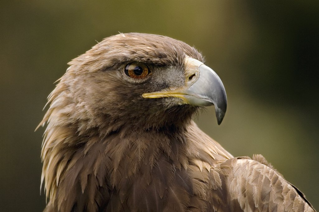 Stock Photo: 4201-49739 Golden Eagle (Aquila chrysaetos) portrait, San Francisco, California