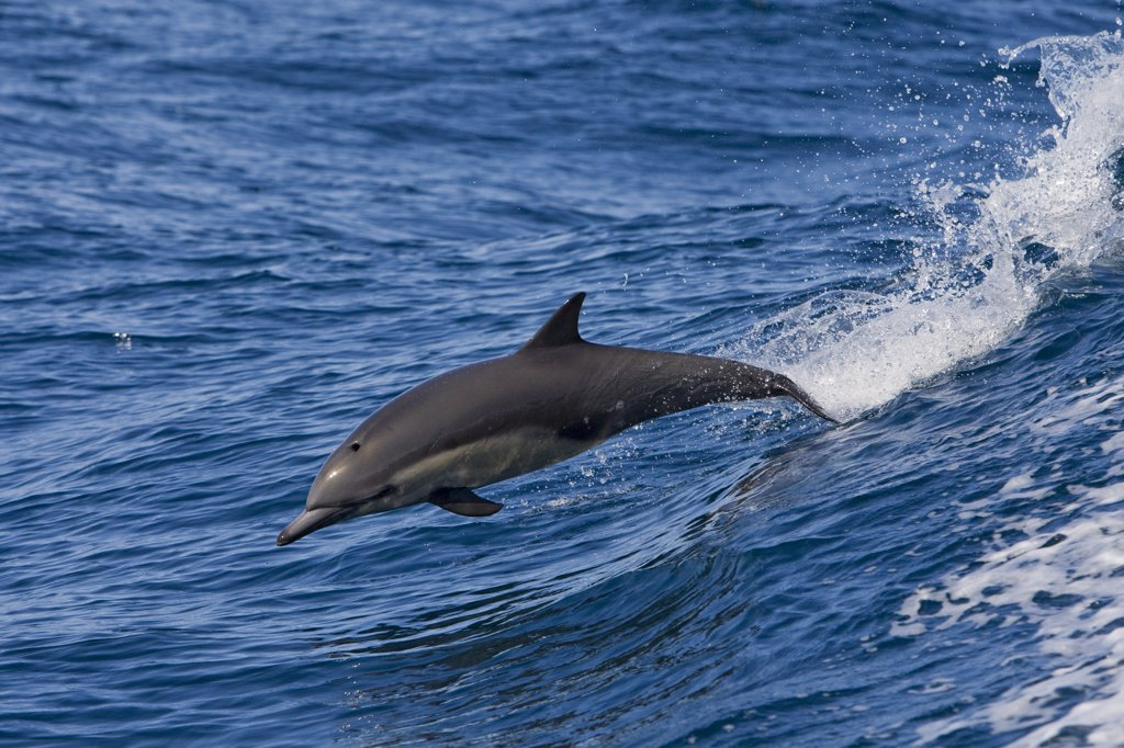 Stock Photo: 4201-49771 Common Dolphin (Delphinus delphis) jumping, Baja California, Mexico
