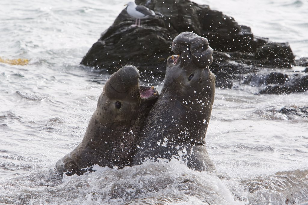 Northern Elephant Seal (Mirounga angustirostris) bulls fighting, San Benito Island, Baja California, Mexico : Stock Photo