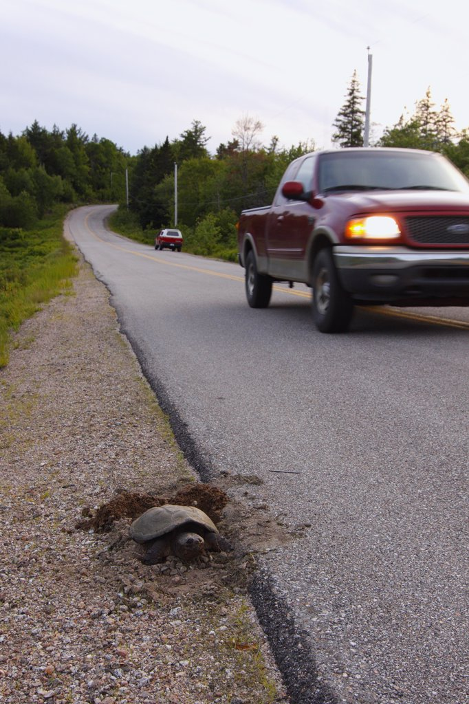 Snapping Turtle (Chelydra serpentina) laying eggs at side of highway, Nova Scotia, Canada : Stock Photo