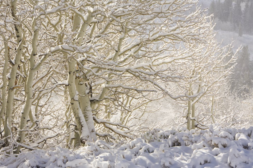 Aspen (Populus tremuloides) trees with frost-covered branches, Inyo National Forest, California : Stock Photo
