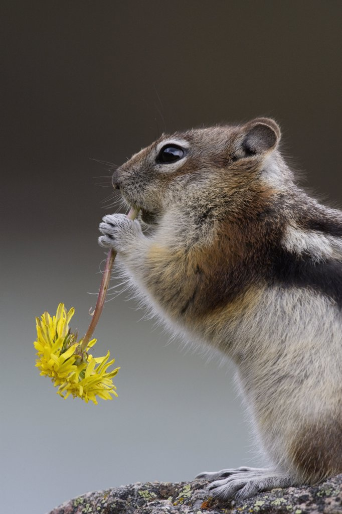Golden-mantled Ground Squirrel (Spermophilus lateralis) eating Dandelion (Taraxacum officinale), western Montana : Stock Photo