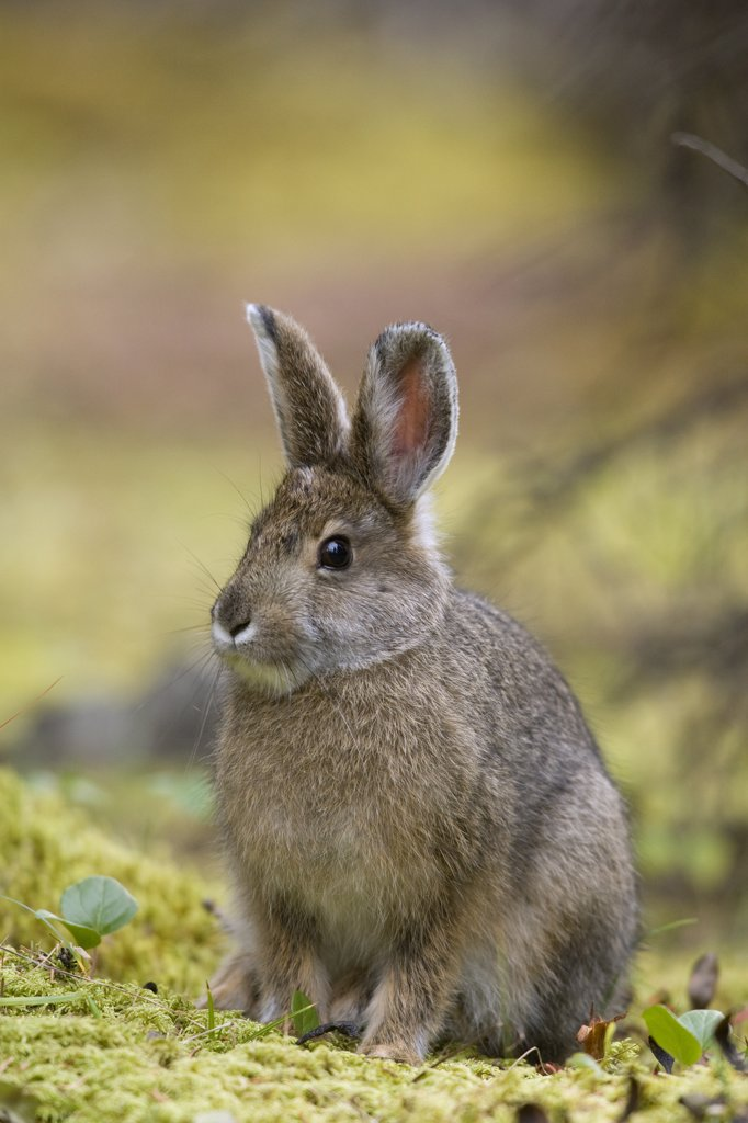 Snowshoe Hare (Lepus americanus) juvenile, central Alaska : Stock Photo