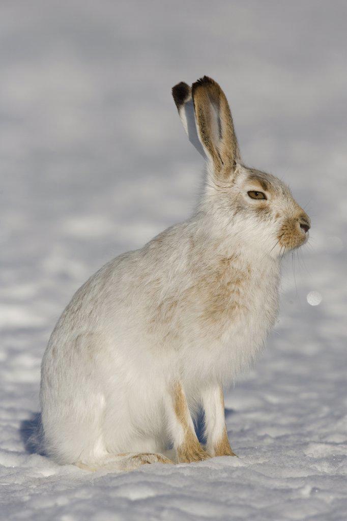 White-tailed Jack Rabbit (Lepus townsendii) in winter coat, eastern Montana : Stock Photo