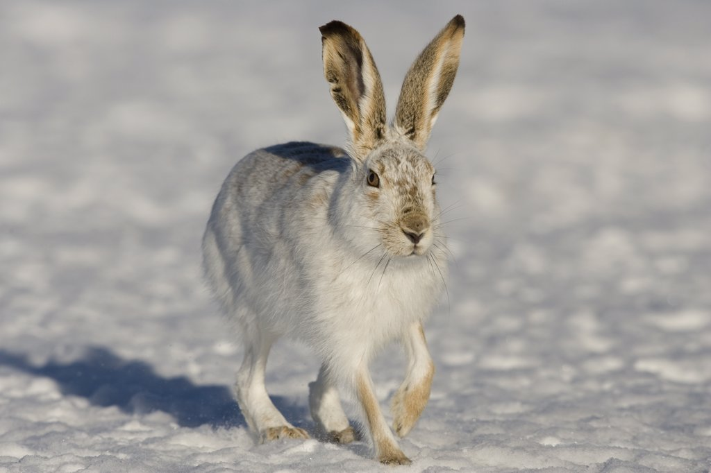 Stock Photo: 4201-51082 White-tailed Jack Rabbit (Lepus townsendii) hopping in winter coat, eastern Montana