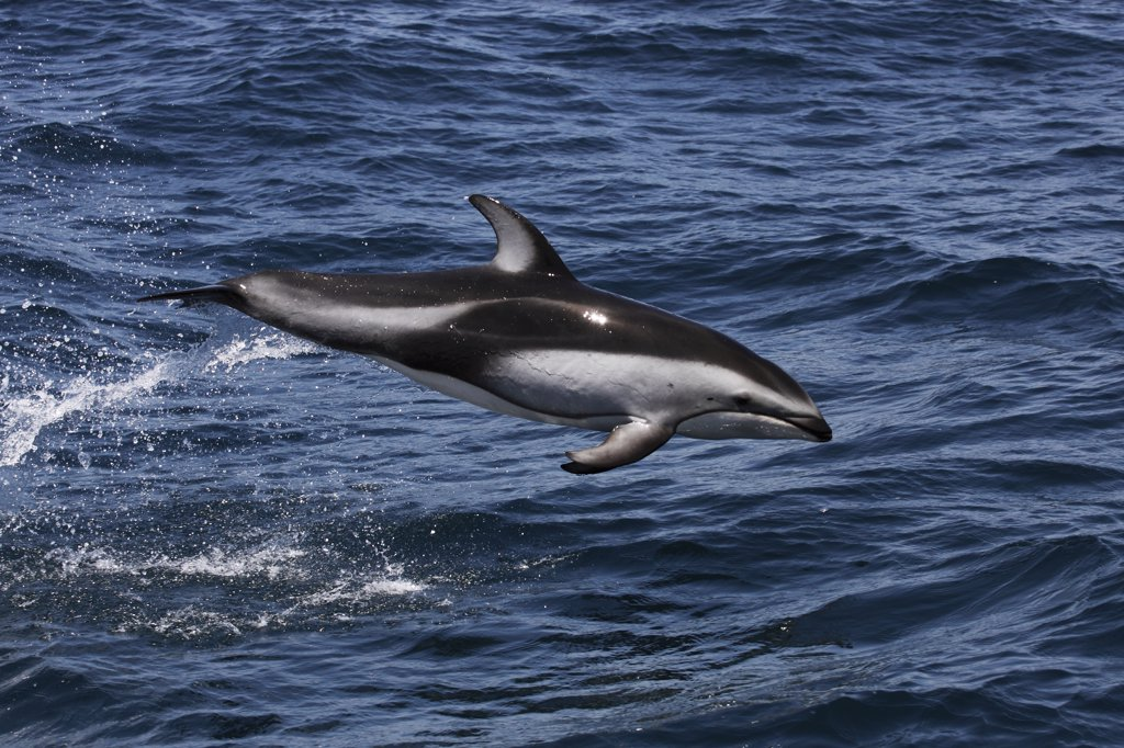 Stock Photo: 4201-51240 Pacific White-sided Dolphin (Lagenorhynchus obliquidens) jumping, Monterey Bay, California
