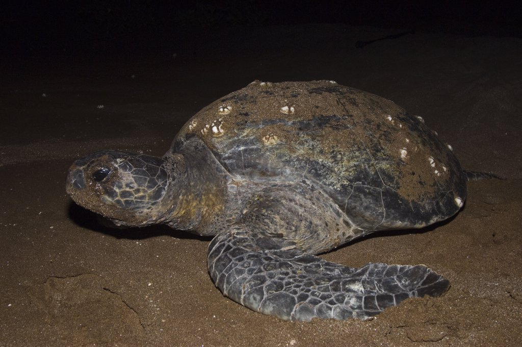 Stock Photo: 4201-51383 Pacific Green Sea Turtle (Chelonia mydas agassizi) female on land to lay eggs, Espumilla Beach, Santiago Island, Galapagos Islands, Ecuador