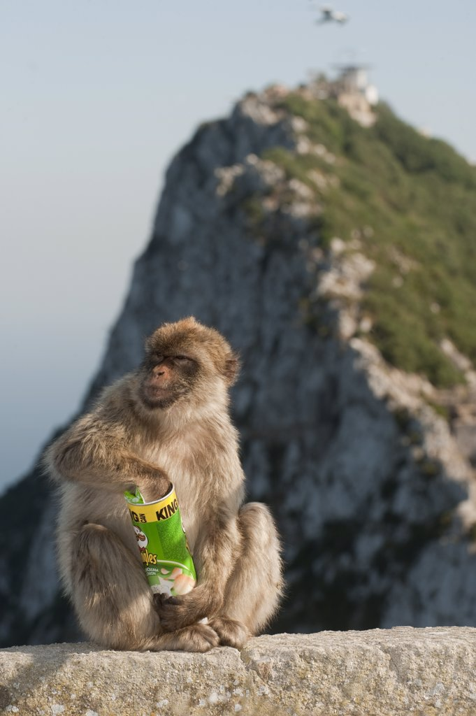Stock Photo: 4201-51408 Barbary Macaque (Macaca sylvanus) eating potato chips stolen from tourist, Gibraltar, United Kingdom