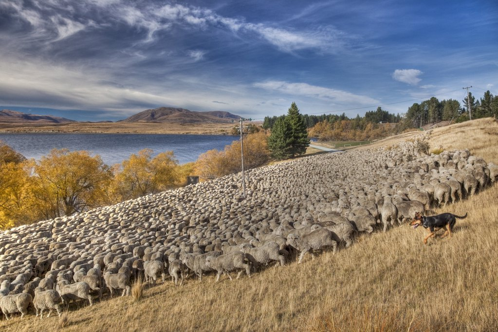Stock Photo: 4201-51454 Domestic Sheep (Ovis aries) flock of Merino breed being moved by shepherd and dogs, Arrowsmith Station, Lake Heron, Canterbury, New Zealand