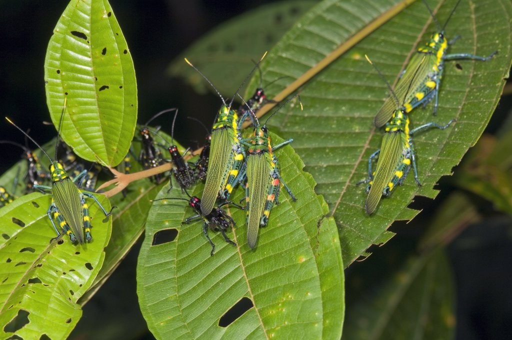 Stock Photo: 4201-51532 Lubber Grasshopper (Chromacris sp) group on leaves, Amazon, Ecuador