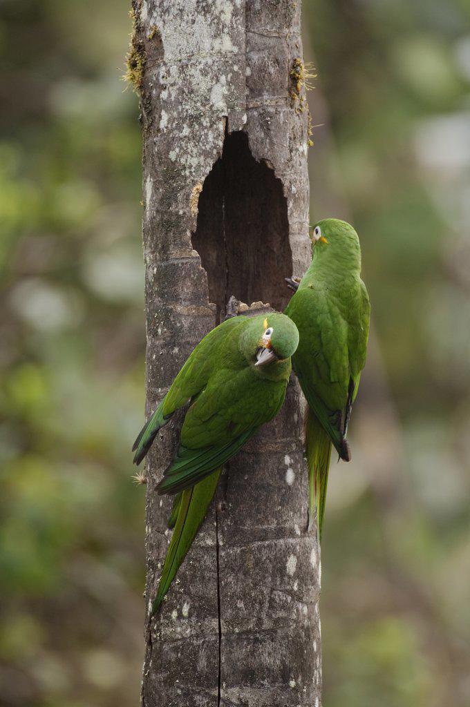 Golden-plumed Parakeet (Leptosittaca branickii) pair at nest cavity, Ecuador : Stock Photo