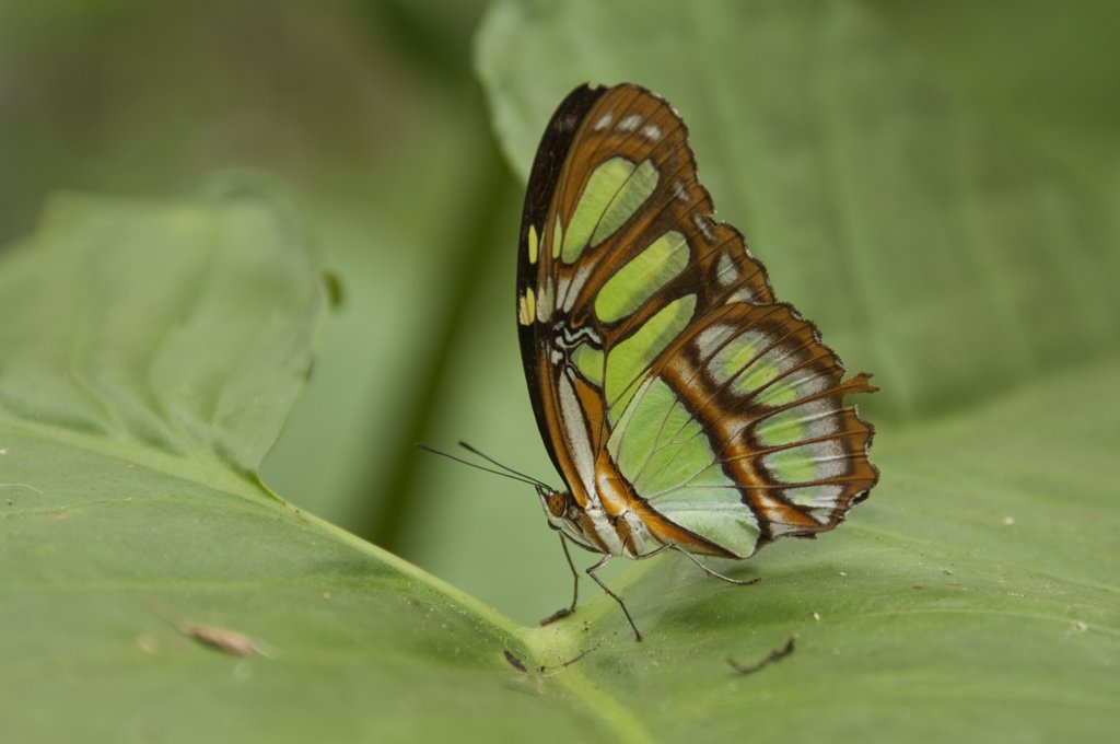Stock Photo: 4201-51880 Green Heliconia Butterfly (Philaethria dido), Amazon, Ecuador