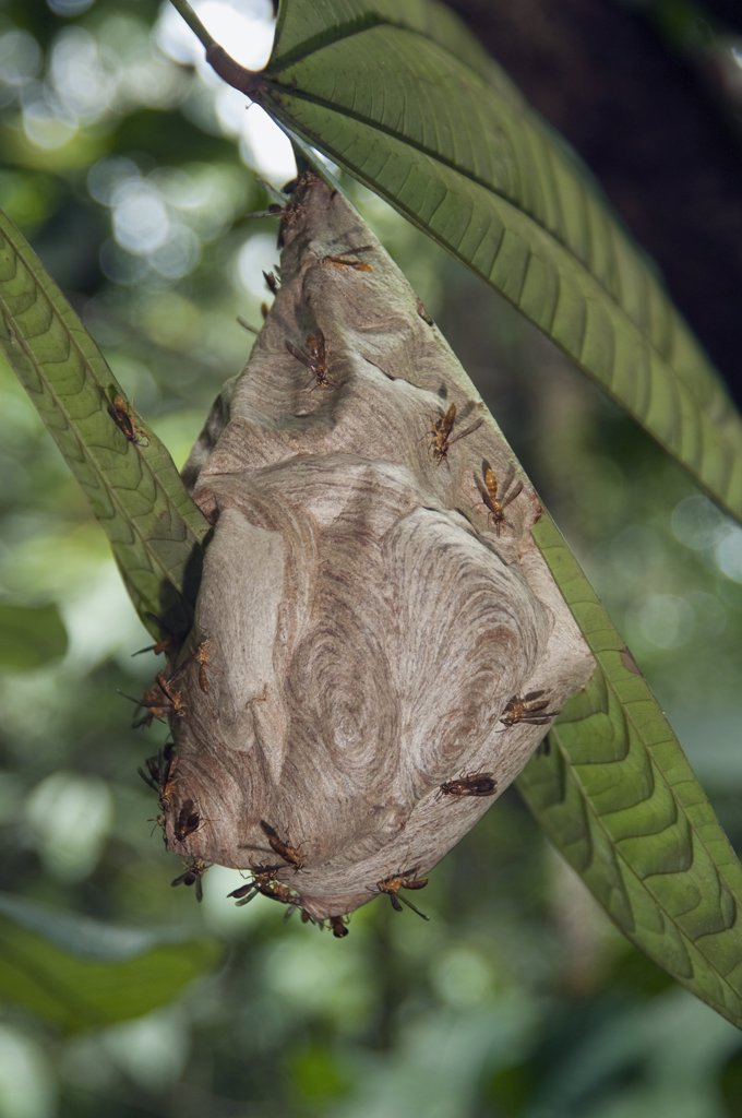 Stock Photo: 4201-52087 Wasp (Vespidae) nest, Amazon, Ecuador