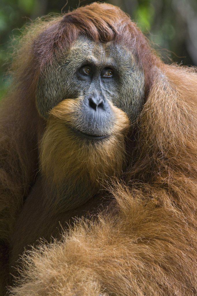 Stock Photo: 4201-52275 Sumatran Orangutan (Pongo abelii) dominant male, north Sumatra, Indonesia