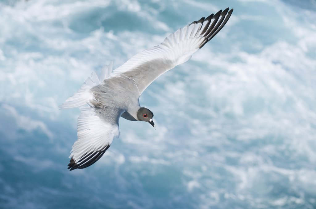 Stock Photo: 4201-52498 Swallow-tailed Gull (Creagrus furcatus) flying, Galapagos Islands, Ecuador