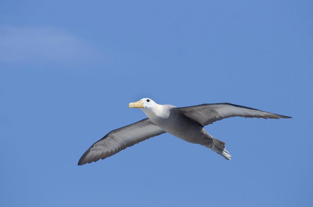Stock Photo: 4201-52508 Waved Albatross (Phoebastria irrorata) flying, Galapagos Islands, Ecuador