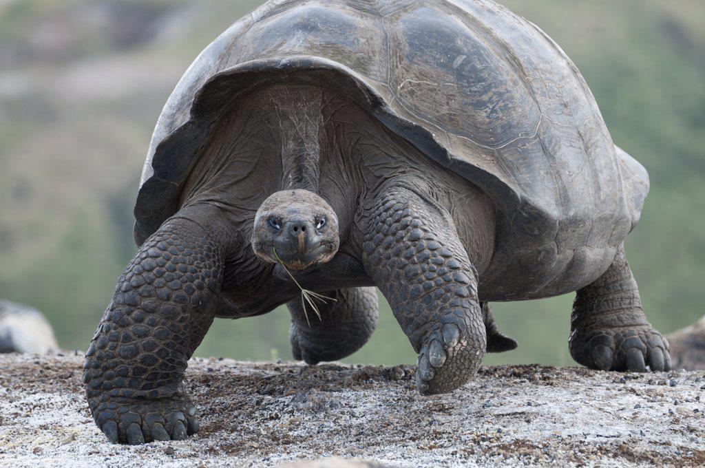 Stock Photo: 4201-52816 Volcan Alcedo Giant Tortoise (Geochelone nigra vandenburghi) male on caldera floor, Isabella Island, Galapagos Islands, Ecuador