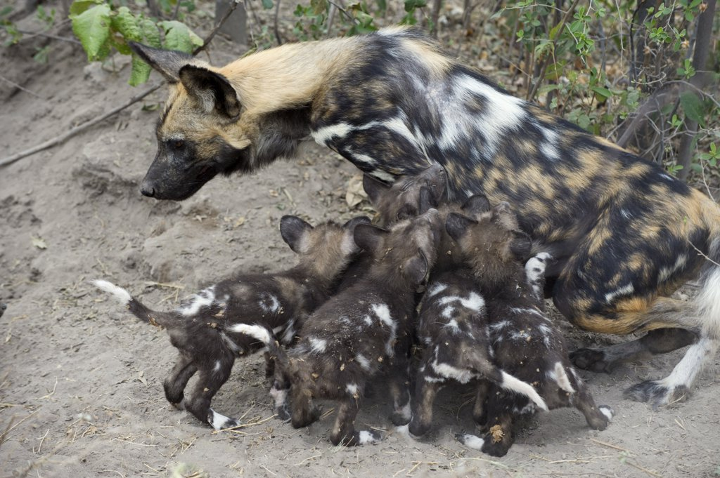 Stock Photo: 4201-53820 African Wild Dog (Lycaon pictus) mother with six week old pups, northern Botswana