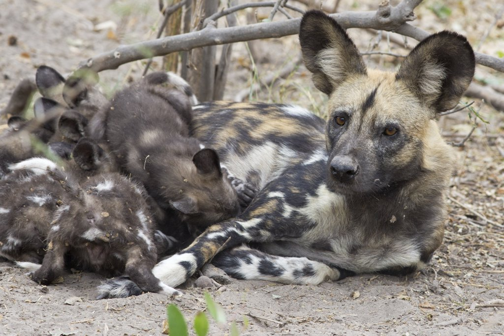Stock Photo: 4201-53848 African Wild Dog (Lycaon pictus) mother suckling six week old pups, northern Botswana