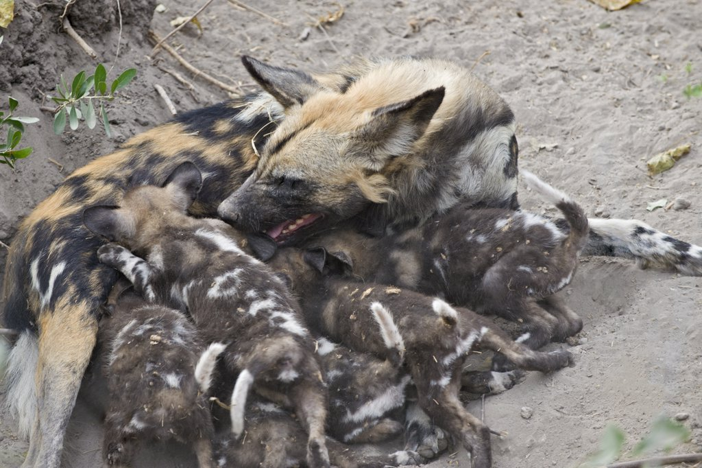 Stock Photo: 4201-53867 African Wild Dog (Lycaon pictus) mother suckling six week old pups, northern Botswana
