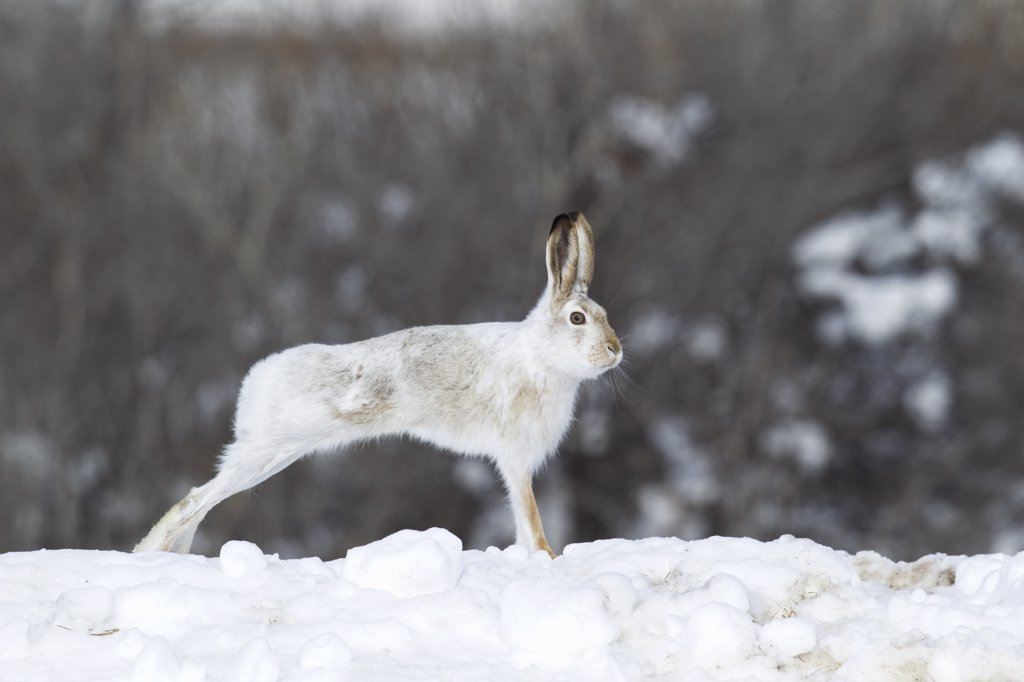 White-tailed Jack Rabbit (Lepus townsendii) streching on a snow bank, central Montana : Stock Photo