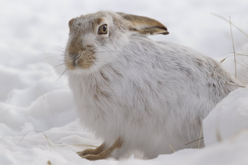 Stock Photo: 4201-54533 White-tailed Jack Rabbit (Lepus townsendii) in snow, central Montana