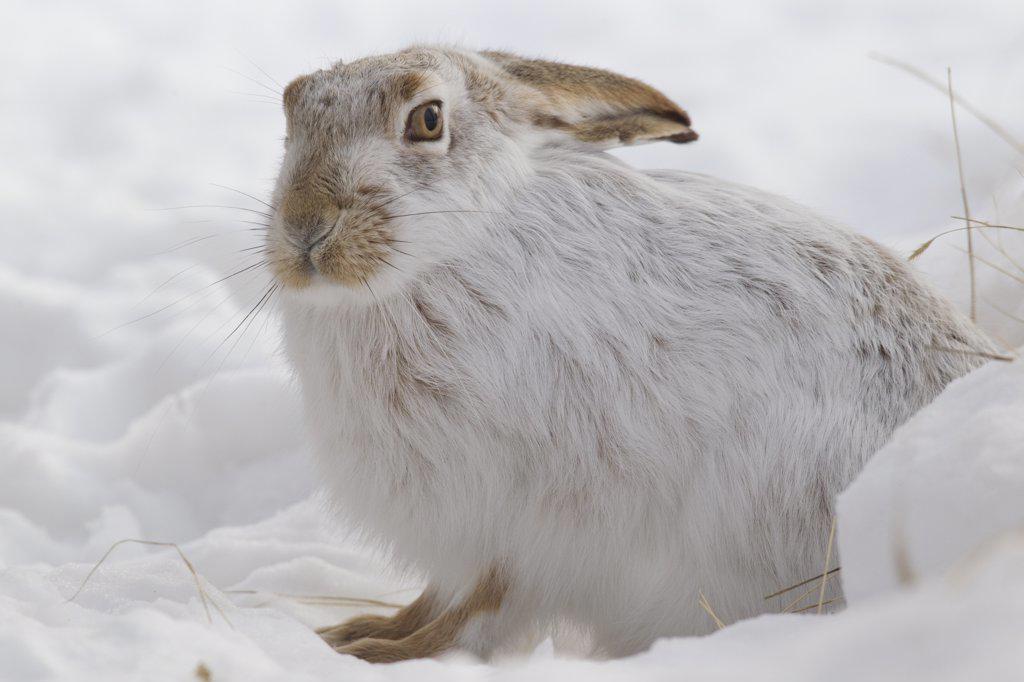 White-tailed Jack Rabbit (Lepus townsendii) in snow, central Montana : Stock Photo
