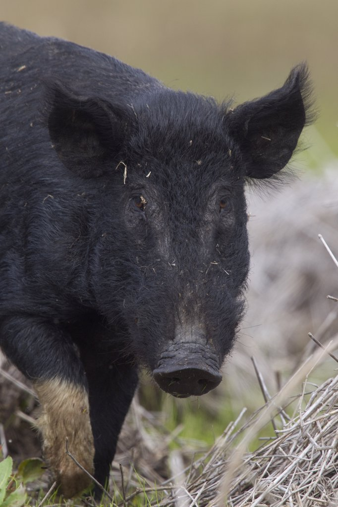 Stock Photo: 4201-54535 Wild Boar (Sus scrofa), Sarasota, Florida