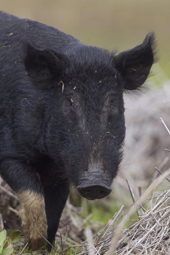 Wild Boar (Sus scrofa), Sarasota, Florida : Stock Photo