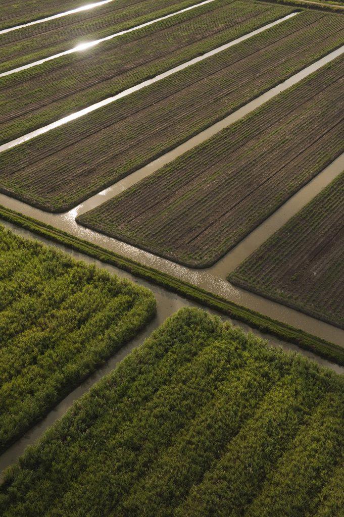 Sugarcane (Saccharum officinarum) plantations, Guyana : Stock Photo
