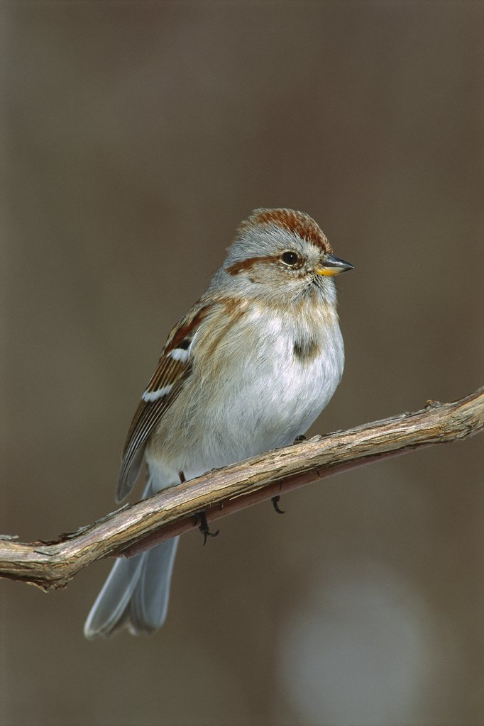 Stock Photo: 4201-54947 American Tree Sparrow (Spizella arborea), North America