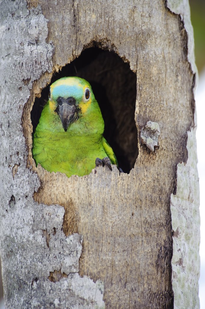Stock Photo: 4201-55033 Blue-fronted Parrot (Amazona aestiva) emerging from nest cavity, southern Pantanal, Brazil