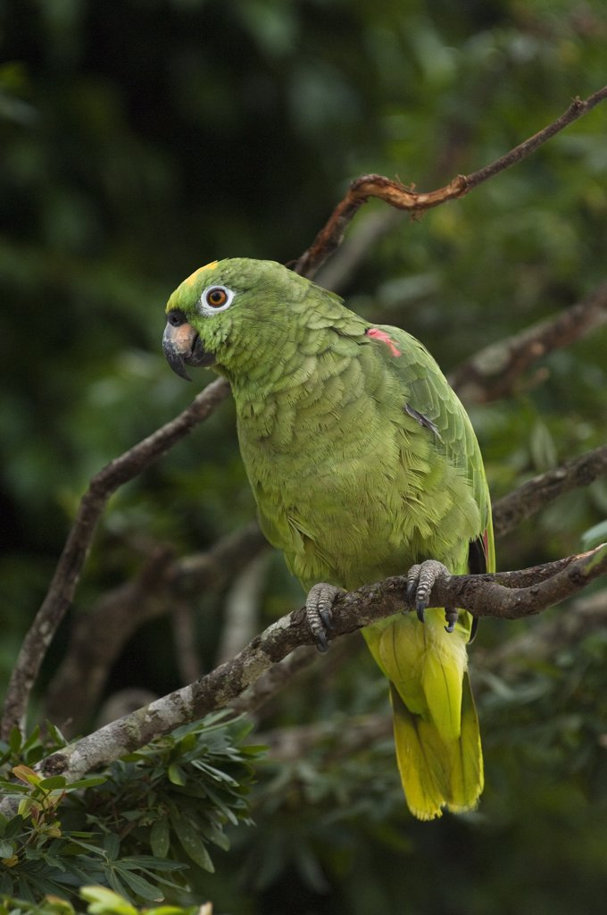 Yellow-crowned Parrot (Amazona ochrocephala) in rainforest, Amazon, Ecuador : Stock Photo