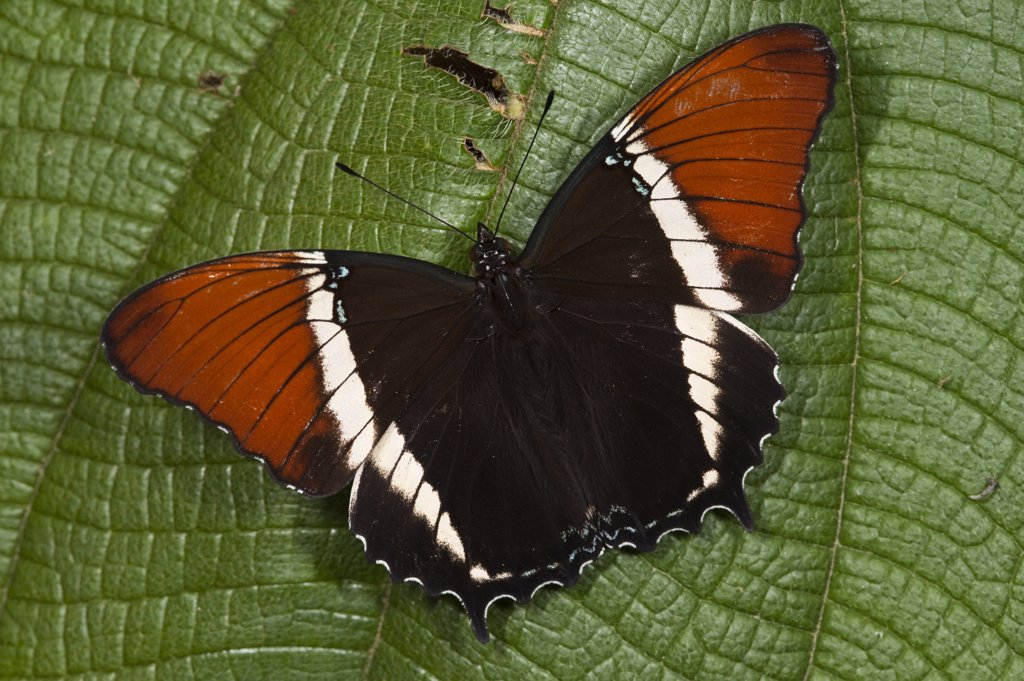 Stock Photo: 4201-55122 Butterfly (Caria lampeto), Mindo Cloud Forest, western slope of Andes, Ecuador