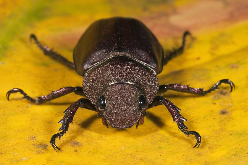 Stock Photo: 4201-55125 Scarab Beetle (Anomala cuprea), Mindo Cloud Forest, western slope of Andes, Ecuador
