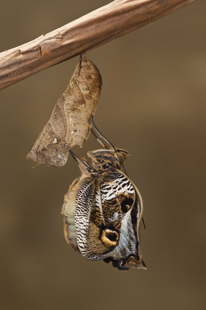 Stock Photo: 4201-55295 Owl Butterfly (Caligo memnon) emerging from chrysalis, Napo River, Yasuni National Park, Amazon, Ecuador
