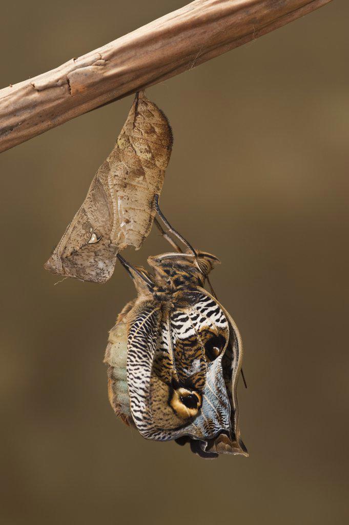 Owl Butterfly (Caligo memnon) emerging from chrysalis, Napo River, Yasuni National Park, Amazon, Ecuador : Stock Photo