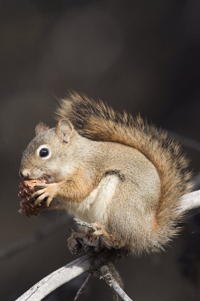 Red Squirrel (Tamiasciurus hudsonicus) eating a pine cone, western Montana : Stock Photo