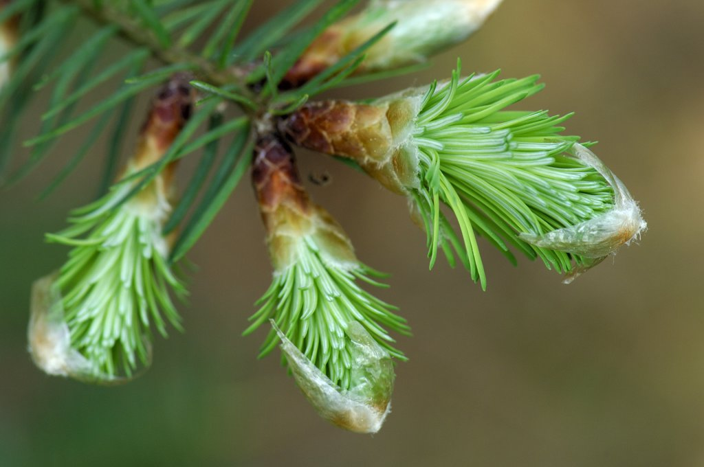Douglas Fir (Pseudotsuga menziesii) needles emerging from buds, Netherlands : Stock Photo