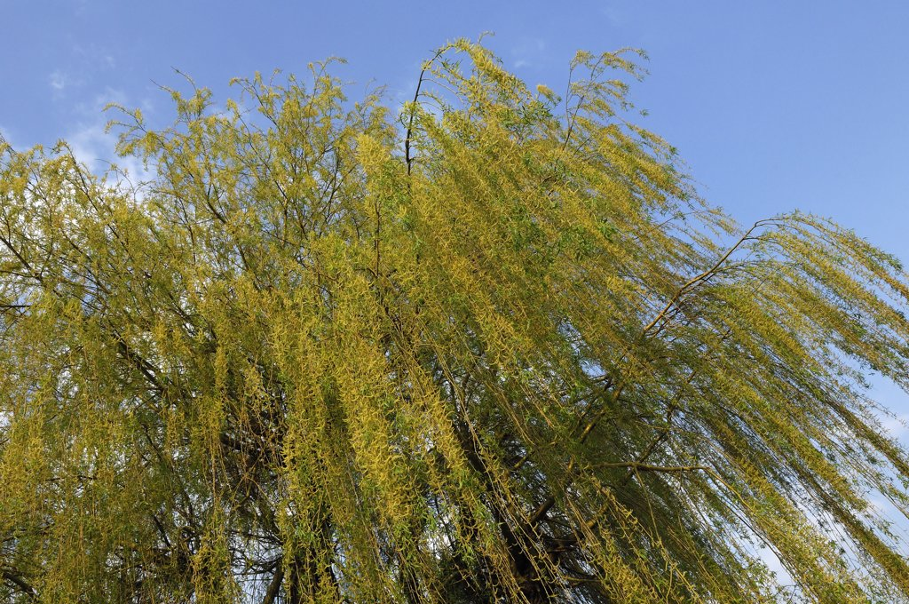 Weeping Willow (Salix sepulcralis), Netherlands : Stock Photo