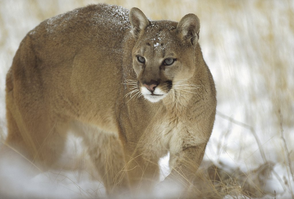 Stock Photo: 4201-5625 Mountain Lion (Puma concolor) portrait in winter, Montana