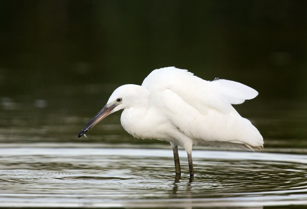 Stock Photo: 4201-56356 Little Egret (Egretta garzetta) fishing, Donana National Park, Seville, Spain