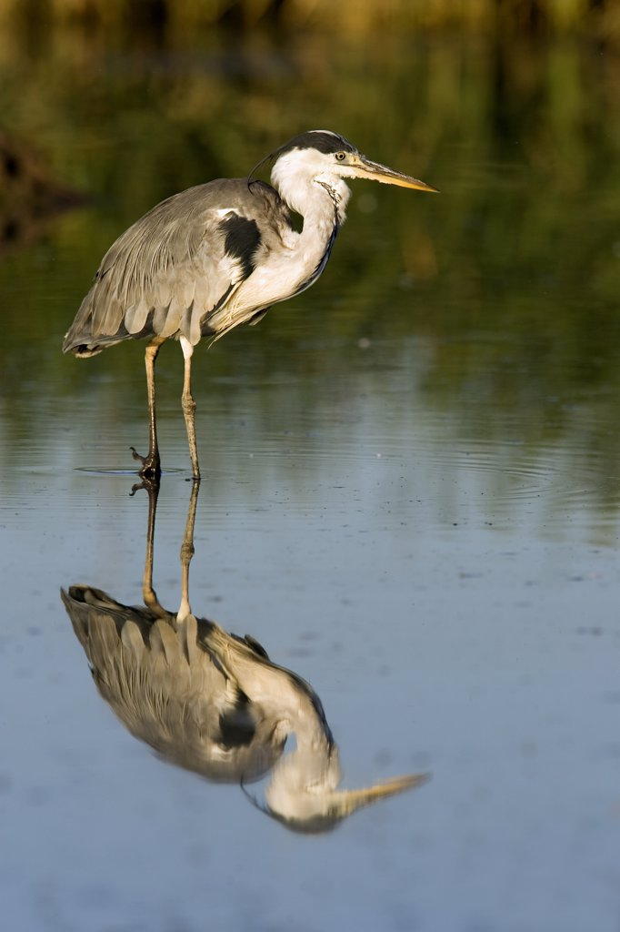Stock Photo: 4201-56362 Grey Heron (Ardea cinerea), Donana National Park, Seville, Spain