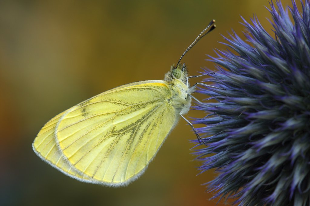 Stock Photo: 4201-56450 Green-veined White (Pieris napi) butterfly on Globe Thistle (Echinops ritro), Hoogeloon, Noord-Brabant, Netherlands